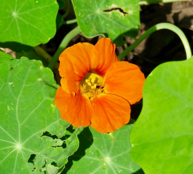 Nasturtium in our yard - what an amazing sight for October