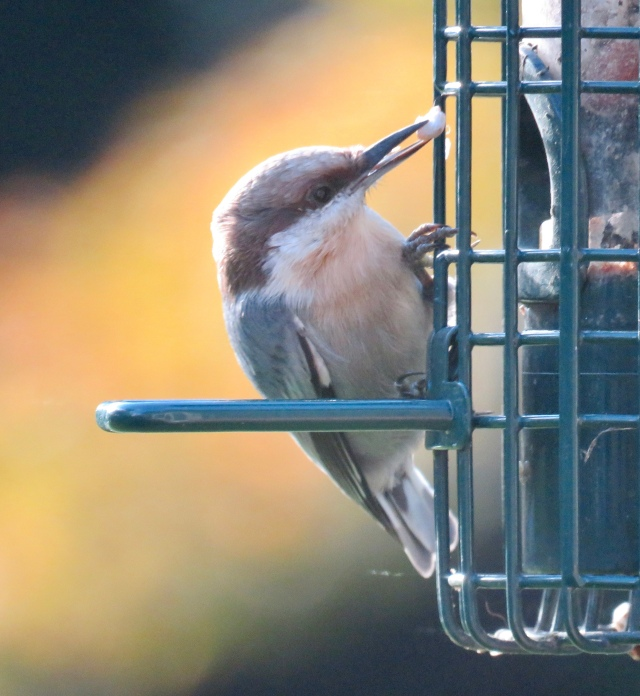 Brown-headed nuthatch - a lifetime first for me!
