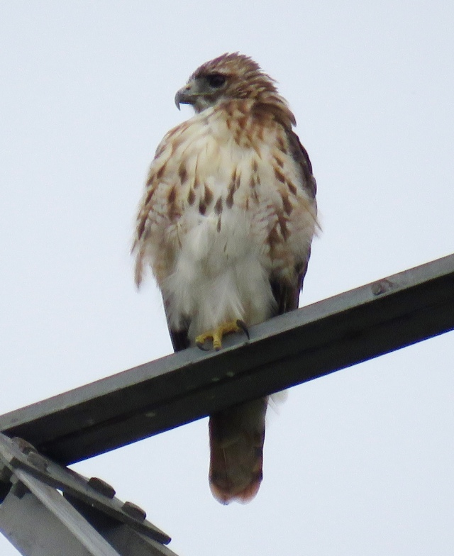 A slightly damp male Red-tailed hawk watches for lunch: