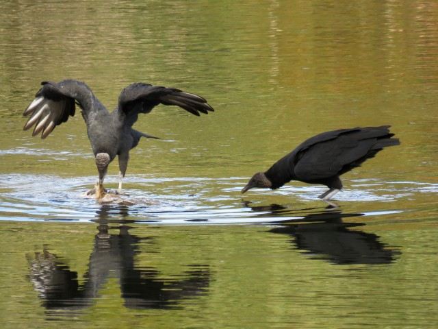 Two black vultures tussling over the long-dead remains of a large catfish