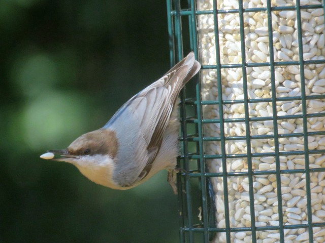 Brown-headed nuthatch. A treasure to discover: