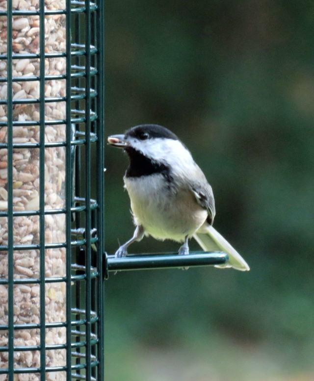 Carolina chickadee, my favorite non-raptor