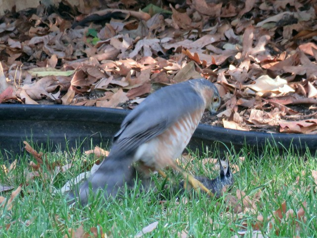 Link in the food chain right there. A very alive hawk and a very dead starling.