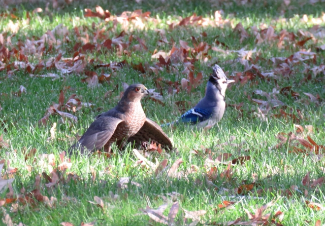 """Cooper's hawk """"mantling"""" in foreground over a dead starling. Bluejay in the background."""