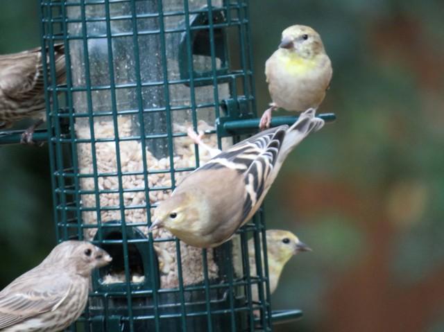 Goldfinch irruption.