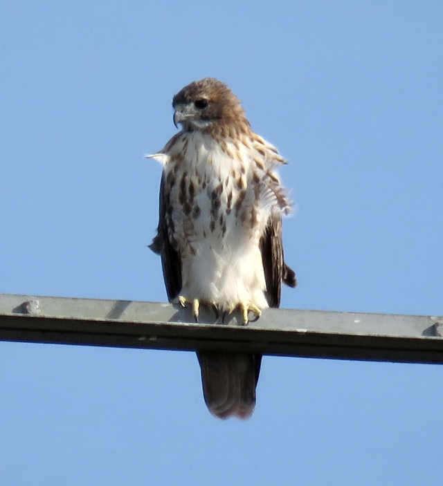 Halloween Red-tail sunning himself