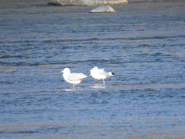 Pair of ring-billed gulls on the water in the wind