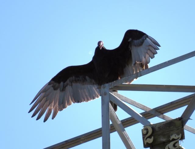 Squawking Turkey vulture