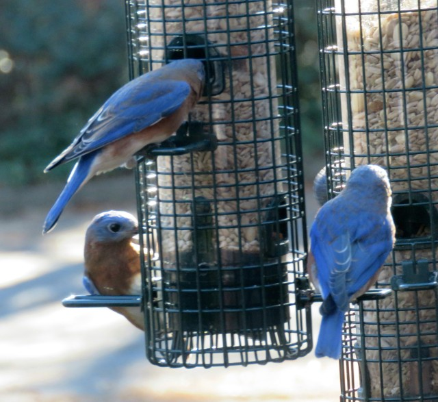 Three bluebirds at once - so cheerful.