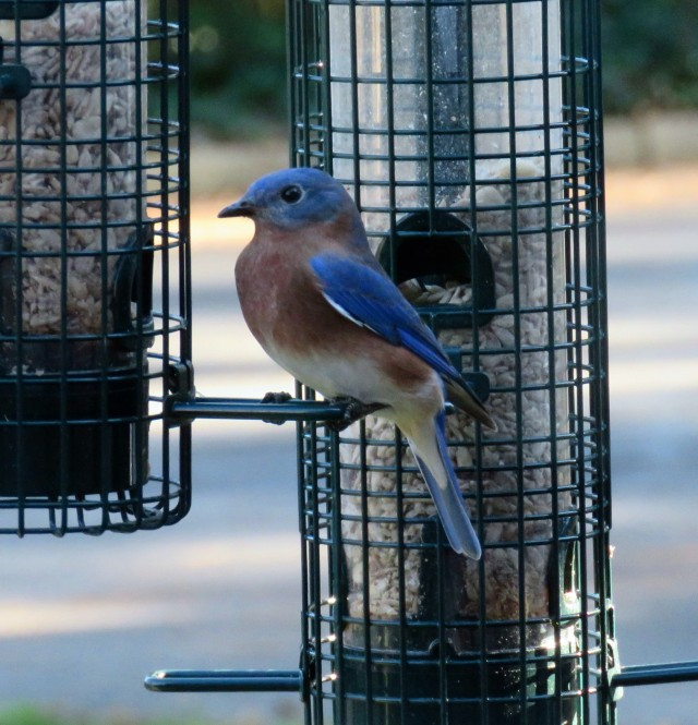 Bluebird at home in no sun!