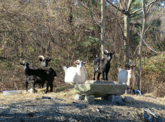 Goats staring at us staring at them