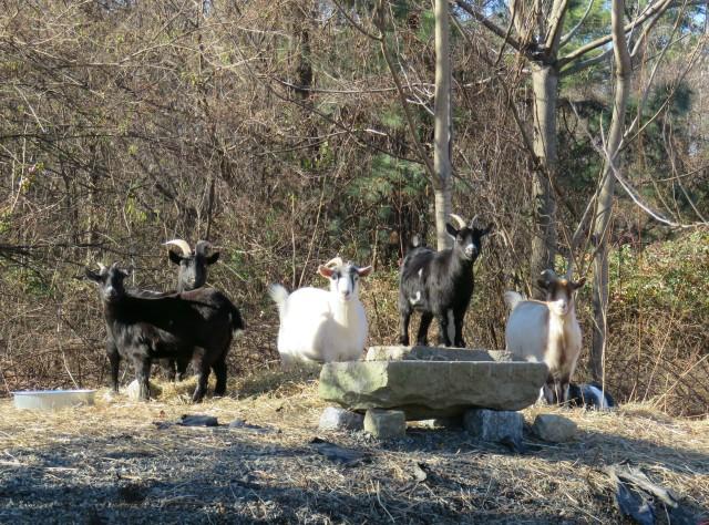 Goats staring at us staring at them