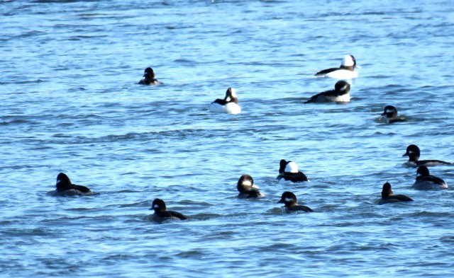 Bobbing buffleheads, always a long shot