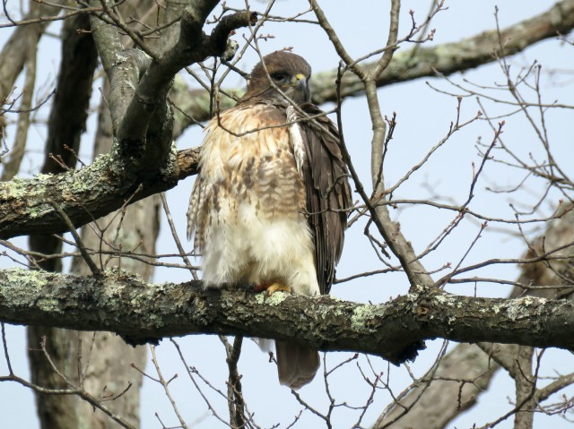 This hawk is about to continue its own life by ending a squirrel's.