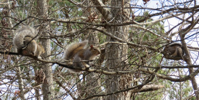 One squirrel on the left, one center, one on the right. I could count seven from where I took this picture.