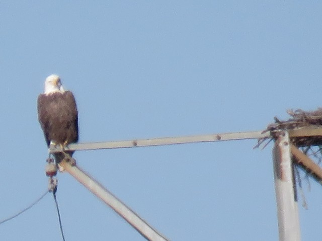 James River resident Bald Eagle: