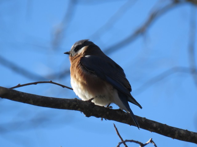 Bluebird at Pony Pasture in sun and shade: