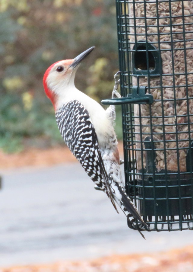 Stout male Red-bellied woodpecker - starlings don't bother him