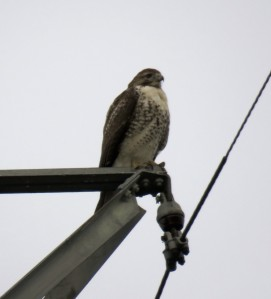 Red-tail on a tower today at 2:26 PM: