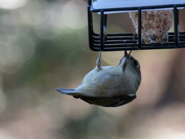 Upside down Ruby-crowned kinglet on suet in front of my office window