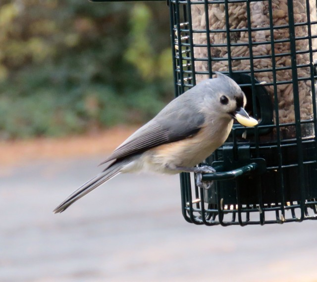 Tufted titmouse. It's those black eyes. They're so cute.