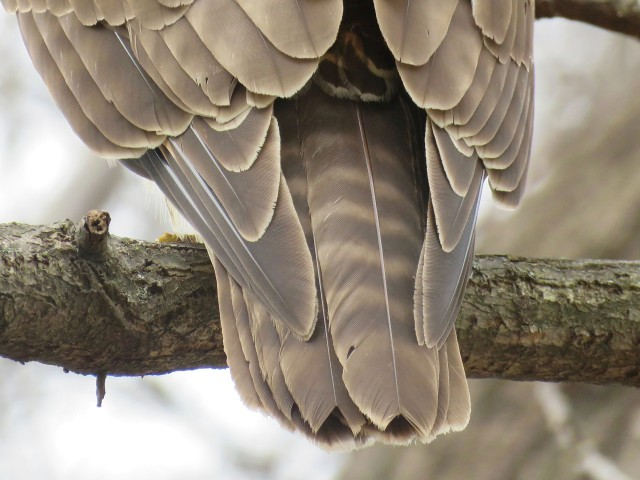 Tail feathers of a young red-tailed hawk.
