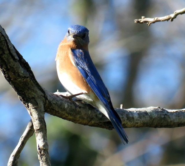 Bluebird at Bryan Park Thursday. Look at that glow.