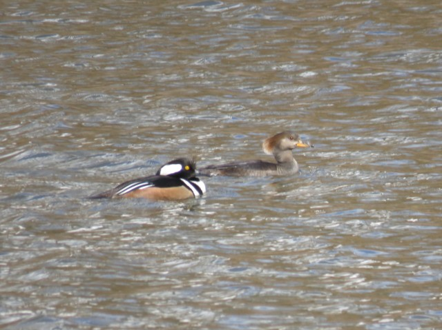 Pair of Hooded mergansers in muddy water at Bryan Park