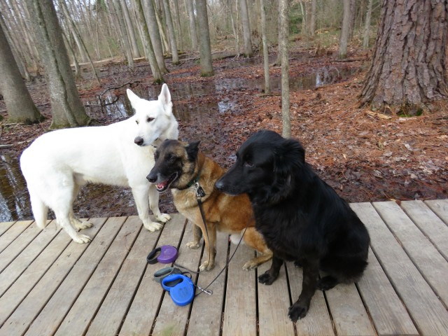 Yuki (white), Turner (brown), Mackey (not white or brown) at the Wetlands at Pony Pasture this morning