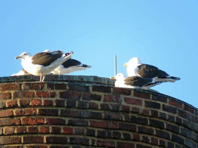 Gleaming gulls