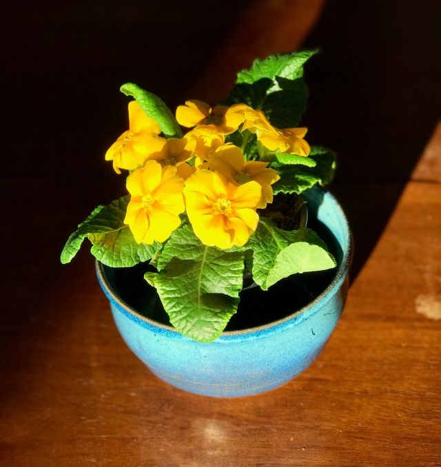1yellowprimrose
