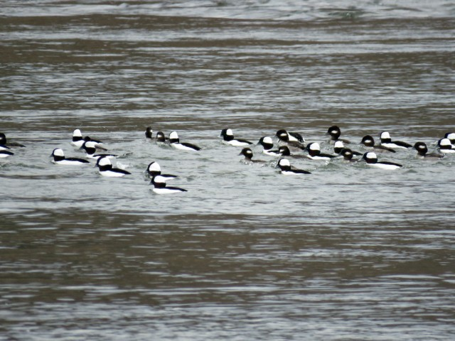 Dense thicket of buffleheads