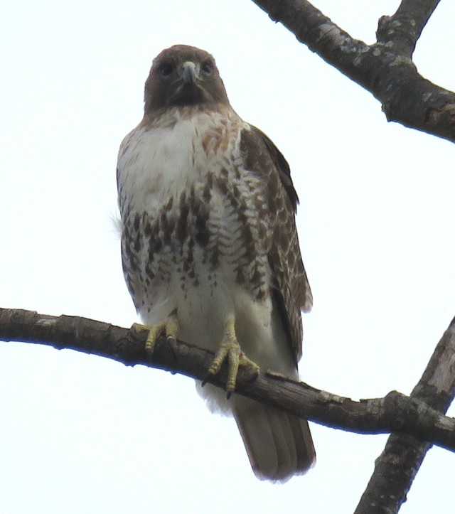 Half a pair of Red-tails at the Country Club of Virginia