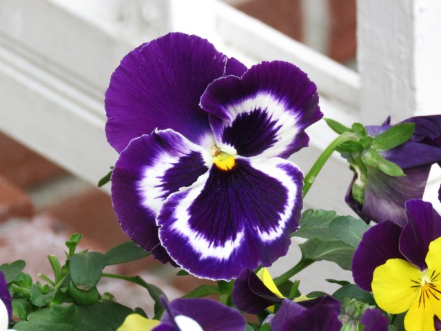 Front porch pansy, courtesy of Evelyn. Evelyn courtesy of my great good fortune.