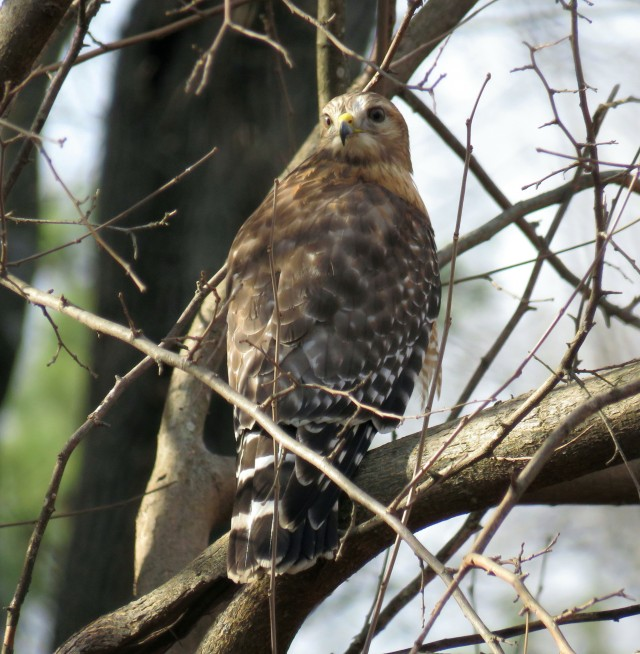 Squawking Red-shouldered hawk in my yard Wednesday