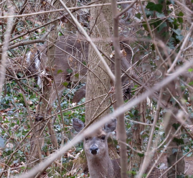 I believe the deer at the bottom of this picture (from December, 2014) is the same deer as the one above.