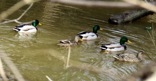 Just one of many mallard squadrons patrolling the park Tuesday.