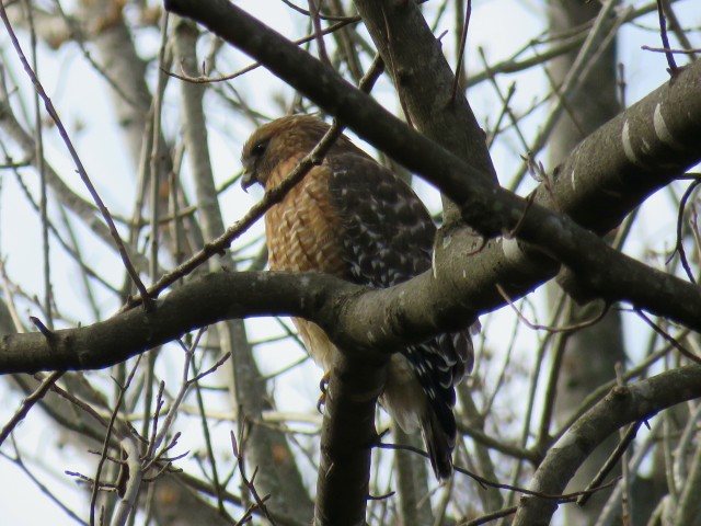 Red-shouldered hawk hunting over the creek at Pony Pasture.