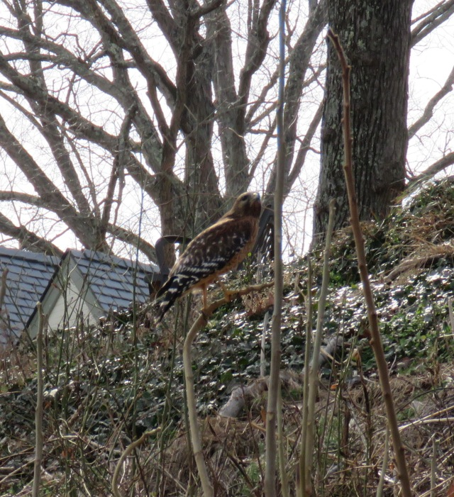 Red-shouldered hawk on Riverside Drive